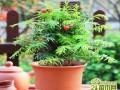 如何养好红豆杉的五大养殖技巧和注意事项