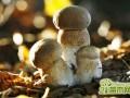 草菇为什么会死菇  草菇死菇怎么办