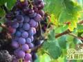 葡萄怎么浇水有利高产  葡萄的浇水方法