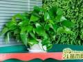 养绿萝怎么施肥?绿萝用什么肥料养比较好