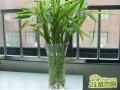 水培富贵竹不长根是什么原因?富贵竹不长根怎么办