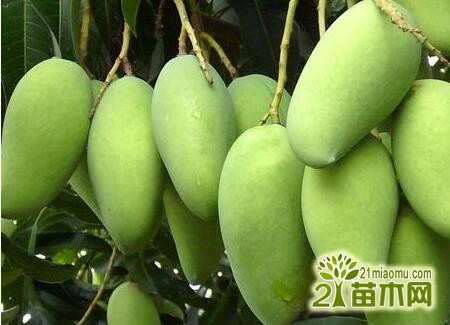 芒果树种几年能结果?芒果树可以活多久