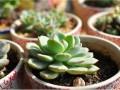 多肉植物长白虫子怎么办?多肉植物长白虫子解决办法
