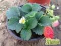 盆栽草莓应该怎么施肥?盆栽草莓是什么肥好