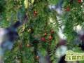 红豆杉叶子干枯怎么办?红豆杉叶子干枯的解决养护方法