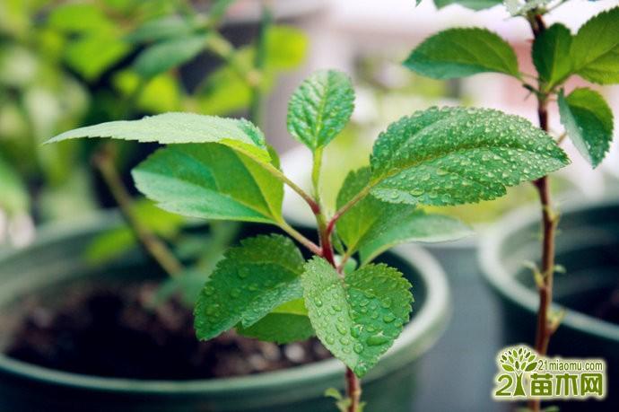 苹果籽可以种出苹果树吗?苹果籽怎么种成苹果树