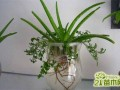 芦荟怎么水培?分享水培芦荟养殖方法