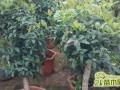 盆栽桂花怎么养?桂花苗多少钱一棵