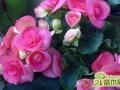 丽格海棠的扦插繁殖:水插生根栽培方法介绍