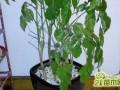 绿宝树叶子发蔫怎么办?四个解决方法让叶子恢复正常