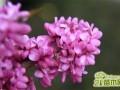 紫荆冬天怎么养?冬日养殖禁忌了解下
