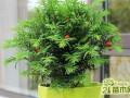 红豆杉盆景贵吗?多少钱一盆