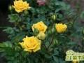 月季花的种子能种活吗?月季花播种繁殖方法介绍