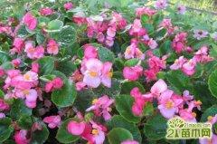 玻璃海棠怎么养能花开不断,玻璃海棠养护注意2