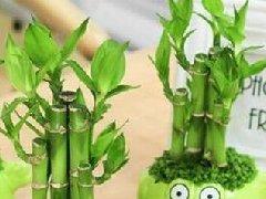 水培富贵竹怎么养长势好,几点养护技巧方法必看