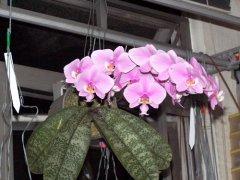 西蕾丽蝴蝶兰怎么养西蕾丽板植好还是水苔盆栽好