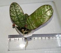 原种蝴蝶兰.西蕾丽Phal. schilleriana 'MSH'开花记录