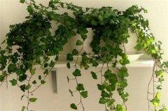 常春藤干枯了还能活吗?常春藤干枯后的处理方法
