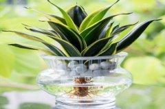 虎皮兰可以水培吗?虎皮兰水培方法