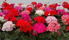 生活中哪些花会引起过敏
