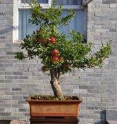 阳台种苹果怎么养护教大家在阳台种植苹果盆栽