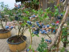 阳台蓝莓树怎么种用什么土才能种好?