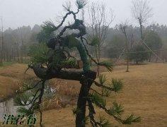 松树盆景怎么拿弯?松树拿弯注意事项和要求