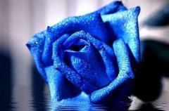 蓝色妖姬的花语是什么?蓝色妖姬代表含义一览