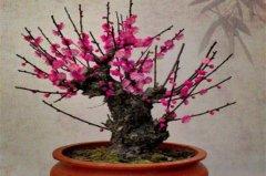 刚买的红梅盆栽正确养殖方法