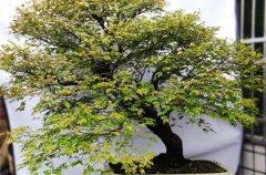 小叶紫檀盆景冬天怎么养?几点养护技巧须知