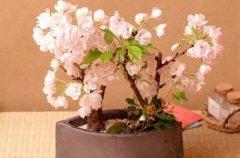 樱花盆景的基础养护知识