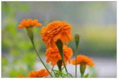 春天适合种什么花?适合春季播种的花卉