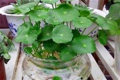 水培金钱草怎么养护?金钱草的水培方法