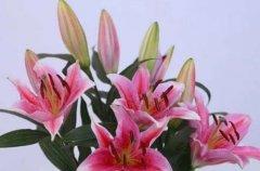 花市买的盆栽百合花后怎么养护