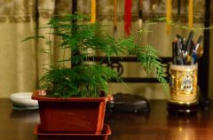 文竹盆栽的日常养护要点
