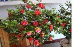茶花室内养殖方法 六大养护要点注意