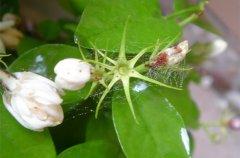 茉莉花上长了红蜘蛛怎么办
