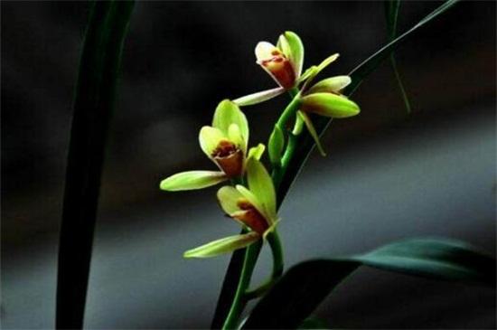 一亿二仟万的兰花见过吗?贵州龙叶片优雅如美人图片