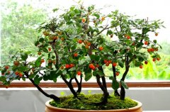 老鸦柿盆景的日常养护方法及注意事项