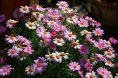 玛格丽特花是雏菊吗?