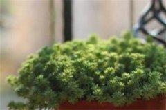 薄雪万年草的养殖方法和注意事项