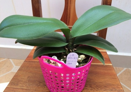 新买的蝴蝶兰盆栽怎样处理