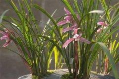 兰花种子发芽方法,看兰花种子怎么种