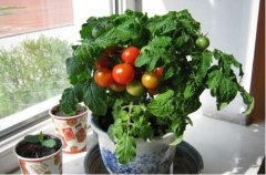 家庭阳台怎么种植小西红柿方法介绍