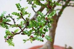 盆栽清香木的养殖方法
