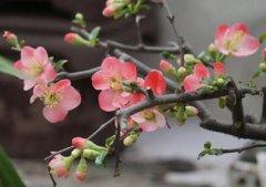 木瓜海棠的养殖方法和注意事项