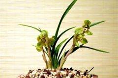 中国兰是哪些兰花 中国兰品种介绍
