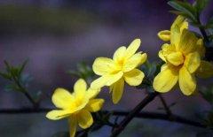盆栽迎春花的养殖方法