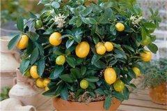 盆栽金桔春天的养殖方法