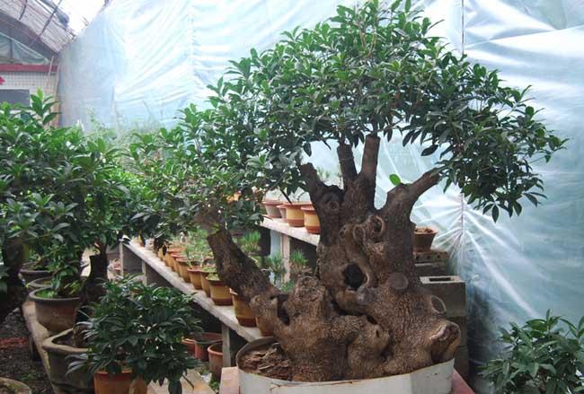 桂花树盆景的修剪方法